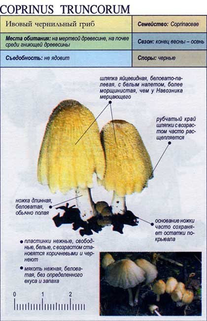 coprinus_truncorum.jpg